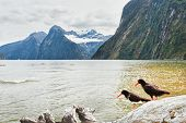 Milford sound. Oystercatchers on the foreground