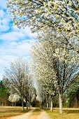 Bradford pear trees blooming in early spring along country path