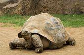 A  aldabra giant tortoise (Aldabrachelys gigantea) chewing grass