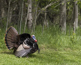 foto of wild turkey  - Wild male turkey strutting in the spring - JPG