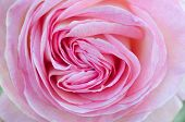 Heart-shaped Pink Rose Close-up / Macro