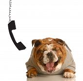 Bulldog Laughing Beside Dangling Phone