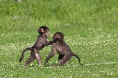 Baby Baboons Playing
