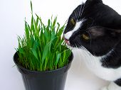 stock photo of catnip  - Cat munching on a vase of fresh catnip isolated on white - JPG