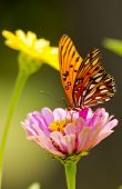 Butterfly on Zenia
