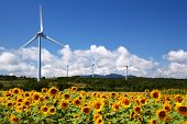 foto of fukushima  - Sunflower field with windmill in Fukushima Japan - JPG