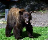 Bear Tongue