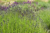 Lavender farming on the channel islands