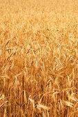 Wheatfield In The Sunshine