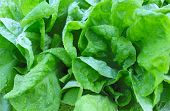 wet leaf lettuce background