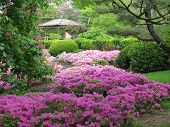 pic of azalea  - A stream of pink azaleas in full bloom meander down a shaded hillside in the  springtime Chicago botanical gardens - JPG