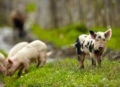 Little pigs on a farm