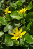 Yellow lesser Celandine in nature