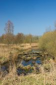 Swamp in Dutch Biesbosch