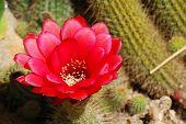 Flor de cacto vermelho detalhadas