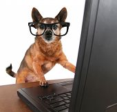 stock photo of web surfing  - a dog surfing the internet - JPG