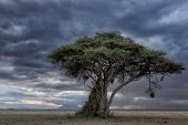 Acacia tree with hanging bird nest, Sunset at Amboseli, Kenya, Africa
