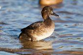 Aythya Fuligula, Tufted Duck.