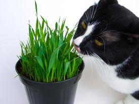 stock photo of catnip  - Cat munching on a vase of fresh catnip isolated on white - JPG
