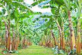 Green Banana Plantations In Phetchaburi Province, Thailand