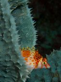 picture of hawkfish  - Macro portrait of a Threadfin Hawkfish perched on the edge of a blue - JPG