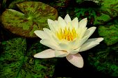 White blooming lotus