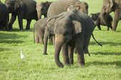 A Young Elephant In A Herd