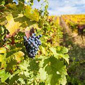 Port Wine Vineyards