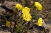 Flowering Coltsfoot