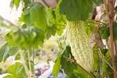 picture of bitter melon  - Bitter melon hanging on a vine in garden - JPG