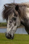 Head of gray Horse