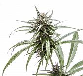pic of marijuana plant  - Isolated marijuana plant with purple buds with white background - JPG