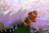 Clownfish Nemo