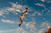 picture of osprey  - Osprey in flight against a nice blue cloudy sky - JPG
