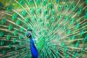image of fowl  - Splendid peacock with feathers out  - JPG