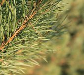 Pine tree branch up close