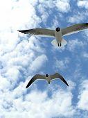 Seagulls In Flight 5