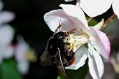 Black Bumblebee On Flower
