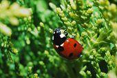 Ladybug On Shrub