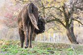 The European Bison (bison Bonasus)