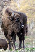 European Bison Has Injured His Leg