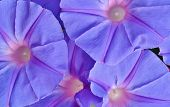 stock photo of ipomoea  - Close up of blue Ipomoea tricolor Heavenly Blue - JPG