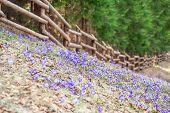 Purple crocus in mountain forest
