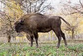 Side View Of A Big European Bison (bison Bonasus)