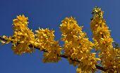 Yellow Forsythia