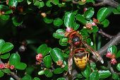 stock photo of hornet  - large hornet on top of a shrub - JPG