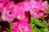Green Grasshopper And Flowers
