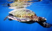 Sea Turtle in Turtle Town