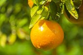 stock photo of valencia-orange  - agriculture - JPG