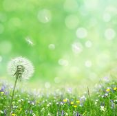stock photo of dandelion seed  - spring background - JPG